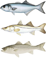 Bluefish, Snook, Striped Bass